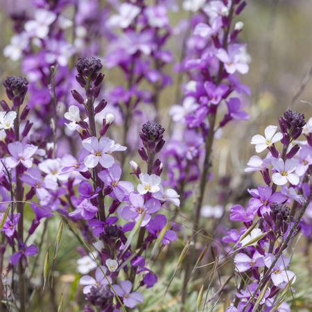 wallflower: Flora of Gran Canaria - abundant flowering of Erysimum albescens, Gran Canaria wallflower
