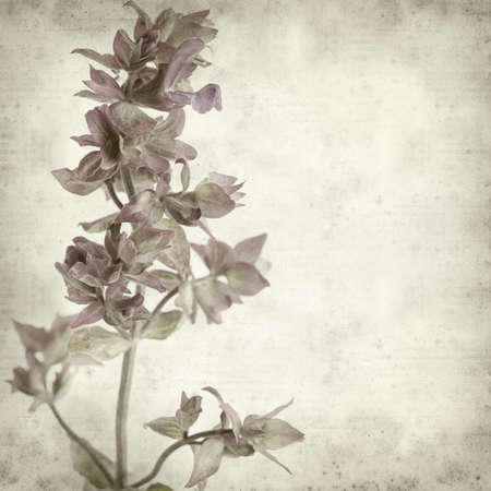 canariensis: textured old paper background with  Salvia canariensis, Canary Island sage