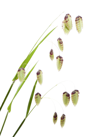 Briza, quaking grass, green seedheads, some flowering,  isolated on white