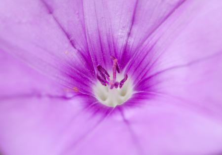 convolvulus: flora of Gran Canaria, Flowering Convolvulus althaeoides macro floral background