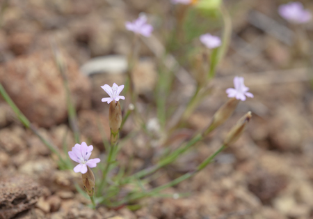 ovoid: Flora of Gran Canaria - small pink flowers of Petrorhagia nanteuilii, ,childing pink