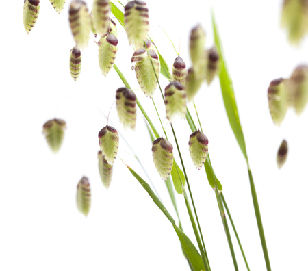 Briza, quaking grass, green seedheads isolated on white Imagens - 56774275