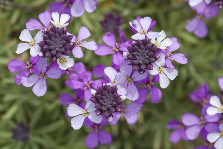 abundant: Flora of Gran Canaria - abundant flowering of Erysimum albescens, Gran Canaria wallflower