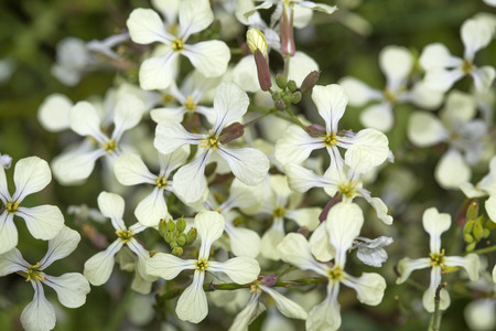 jointed: flora of Gran Canaria, flowering Raphanus raphanistrum, wild radish,  jointed charlock