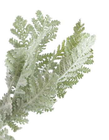 extinction: Flora of Gran Canaria - leaves of Tanacetum ptarmiciflorum, popular ornamental plant, in danger of extinction in the wild