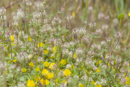 arvense: flora of Gran Canaria, Flowering Trifolium arvense, hares-foot clover, and yellow Trifolium campestre, hop trefoil Stock Photo