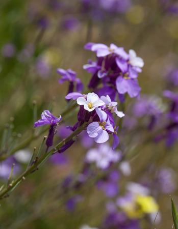 wallflower: Flora of Gran Canaria - abundant flowering of Erysimum albescens, Gran Canaria wallflower