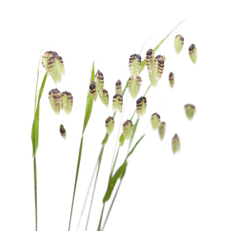 Briza, quaking grass, green seedheads isolated on white Imagens