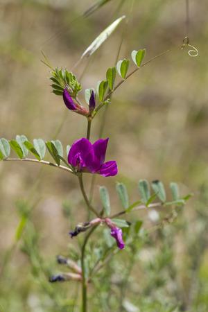tare: Flora of Gran Canaria - flowering common vetchmacro