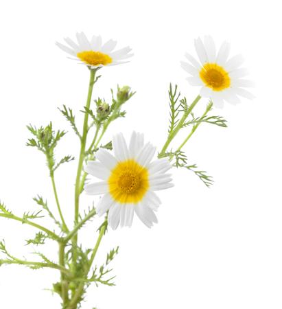 coronarium: white and yellow garland chrysanthemum isolated on white Stock Photo