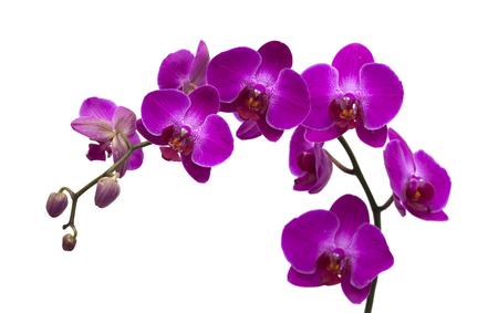 phal: dark magenta phalenopsis, moth orchid;  isolated on white