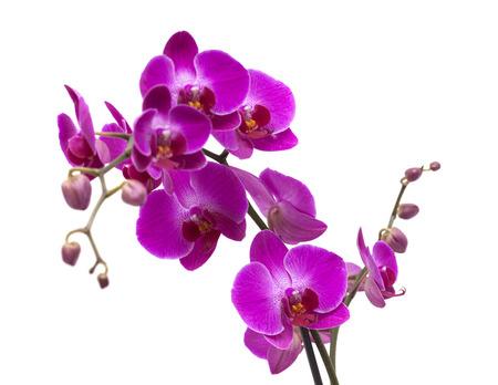 abundant: abundant flowering of magenta phalaenopsis orchid isolated on white