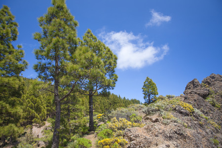 Gran Canaria, Canarian Pine trees at  Risco Chapi Stock fotó