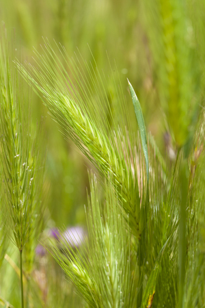 alergy: Flora of Gran Canaria - young plants of Hordeum, wild barley