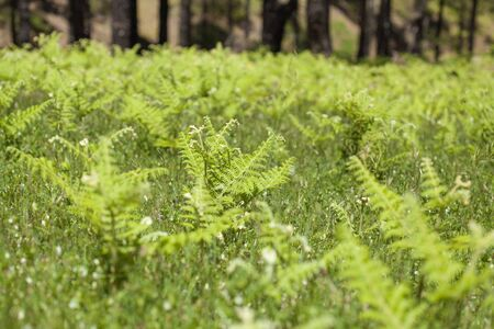 bracken: Flora of Gran Canaria - young Pteridium ferns (bracken) cover large areas in the mointains