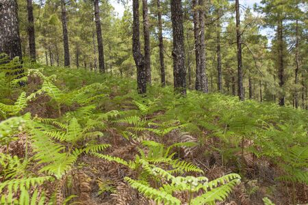 unfurling: Flora of Gran Canaria - Pteridium ferns cover large areas in central mountains