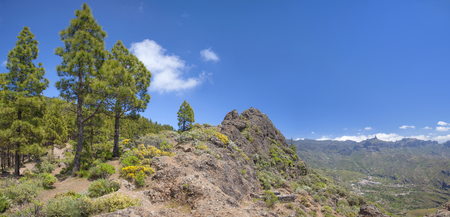 Gran Canaria, Canarian Pine trees at  Risco Chapi, Roque Nublo to the right, view across Caldera de Tejeda