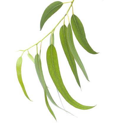 oil tree: fresh eucalyptus leaves isolated on white background Stock Photo
