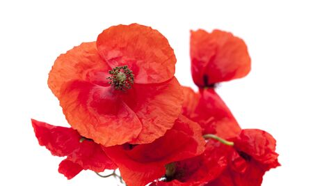 papery: bunh of bright red poppies isolated on wjite background Stock Photo