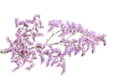 papery: Flora of Gran Canaria - small papery lilac flowers of  Limonium pectinatum, endemic to Canary Islands,  isolated on white background