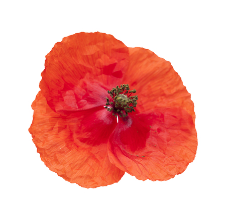 papery: bright red poppy isolated on wjite background