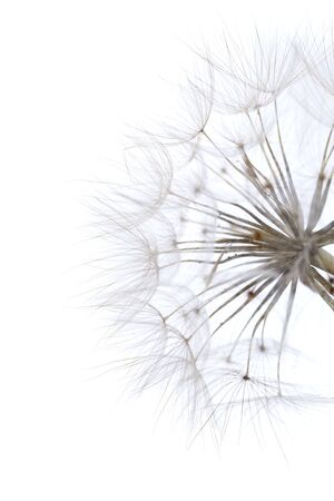 deeds: large round dandelion-like ripe seedhead of salsify plant isolated on white