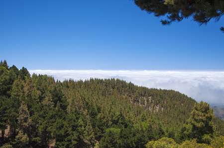 burro: Inland Central Gran Canaria, Las Cumbres, highest areas of the island, view over treetops towards Panza de Burro, Donkey Belly, cloud cover almost always present at the north of the Canary Islands