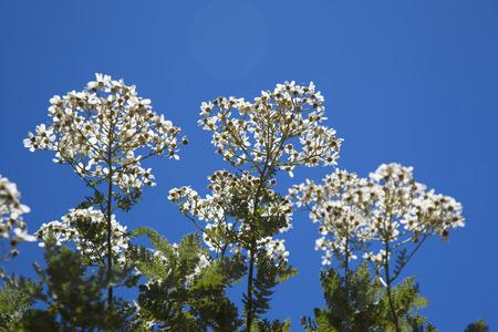 endangered species: Flora of Gran Canaria, abundant flowering of Tanacetum ptarmiciflorum, Silver Lace Bush or Silver Tansy, endangered species