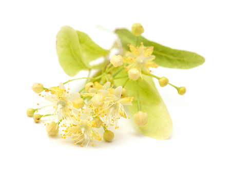 linden blossom: medicinal herb lime blossom isolated on white background