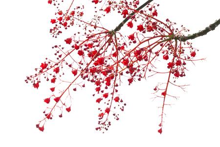 fused: Brachychiton acerifolius, Illawarra Flame Tree flowers isolated on white Stock Photo