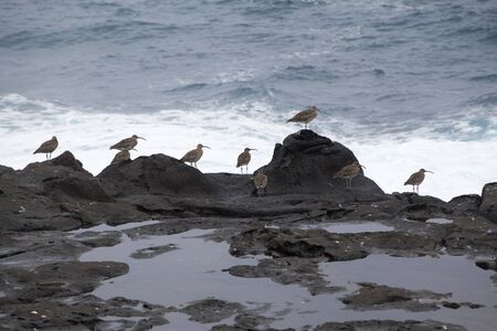 and is favorable: flock of slender-billed curlews waiting for favorable feeding conditions by water edge