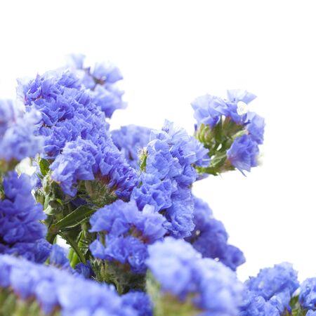 Limonium sinuatum, statice, blue flowers isolated on white background Stock Photo