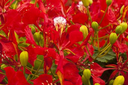 Flowering Delonix regia flame tree red flowers floral background