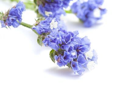 ruffle: Limonium sinuatum, statice, blue flowers isolated on white background Stock Photo