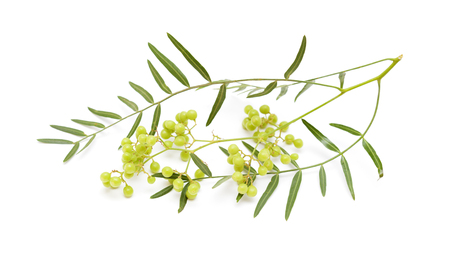 peppery: pink peppercorn clusters, green uripe stage, isolated on white background