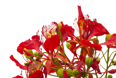 Flowering Delonix regia, flame tree, branches isolated on white background