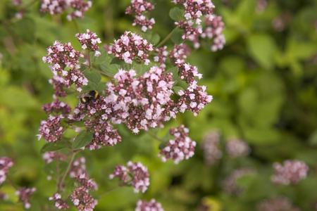 marjoram: flowering Marjoram plants and bumblebee