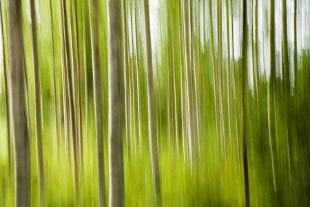 silver birch forest blur abstract Stock Photo