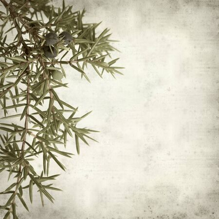 enebro: textured old paper background with comon juniper branches