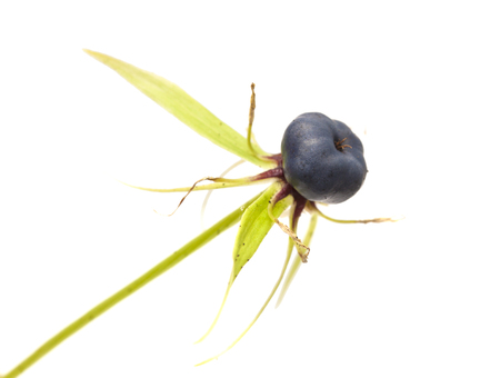poisonous berry of true lovers knot, Paris quadrifolia,  isolated onwhite background