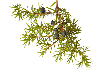 astringent: common juniper twig with ripe and unripe berries isolated on white background