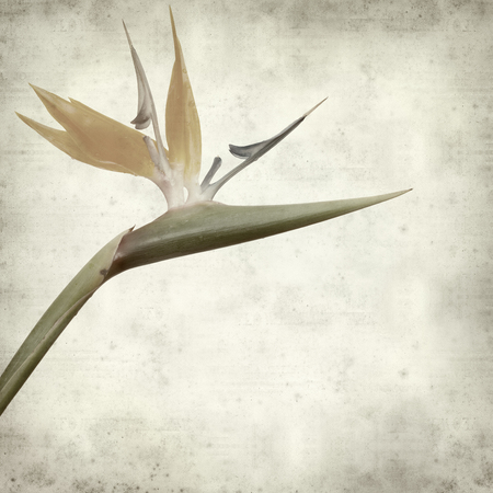 bloom bird of paradise: textured old paper background with bird of paradise flower Stock Photo