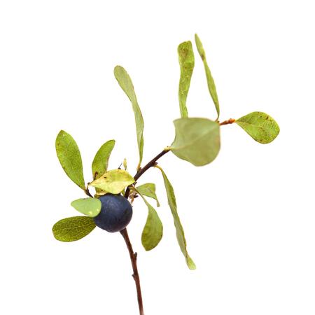 Vaccinium uliginosum, bog bilberry branch isolated on white