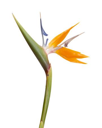 bloom bird of paradise: Strelitzia reginae exotic flower isolated on white