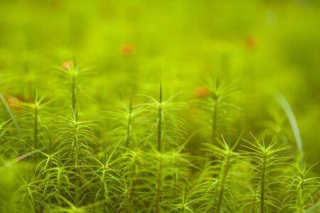 mosses: Polytrichum mosses macro natural soft focus background