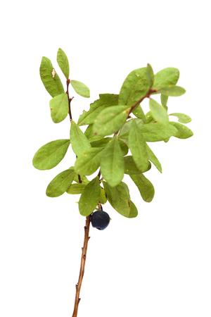 bog: Vaccinium uliginosum, bog bilberry branch isolated on white