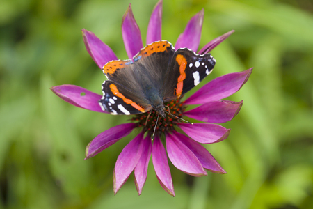 admiral: red admiral butterfly on echinacea