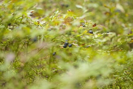 autumnal foraging background with bilberry bushes Stock Photo
