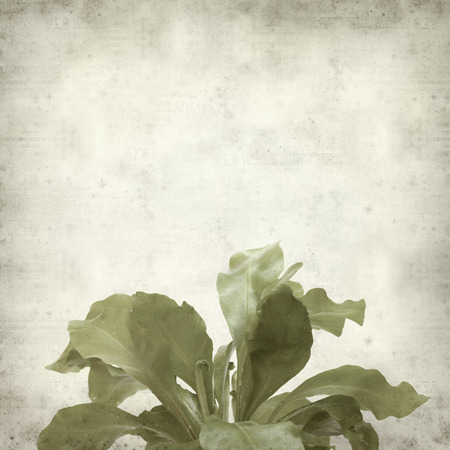 unfurling: textured old paper background with bird nest fern plant
