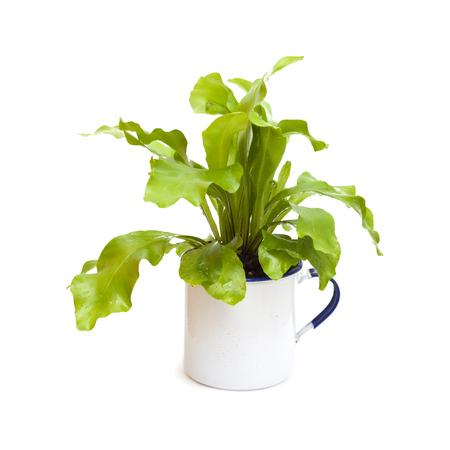 epiphytic: Asplenium nidus, bird nest fern growing in a retro enamel mug isolated on white background
